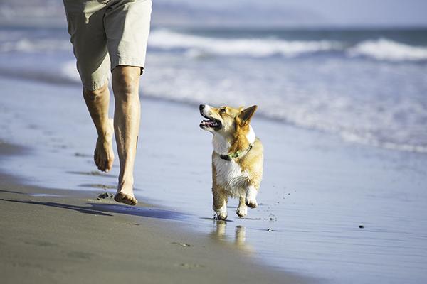© Anthony Helton | Purple Collar Pet Photography | Corgi running on beach, man's best friend, man and dog running on beach
