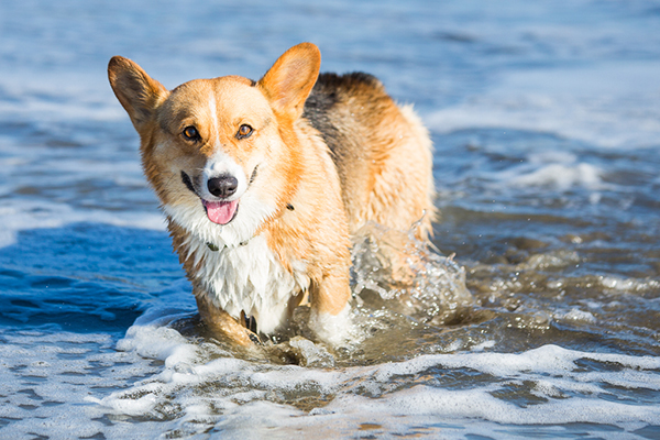 © Anthony Helton | Purple Collar Pet Photography | Corgi in ocean, on location pet photographer, happy dog photos