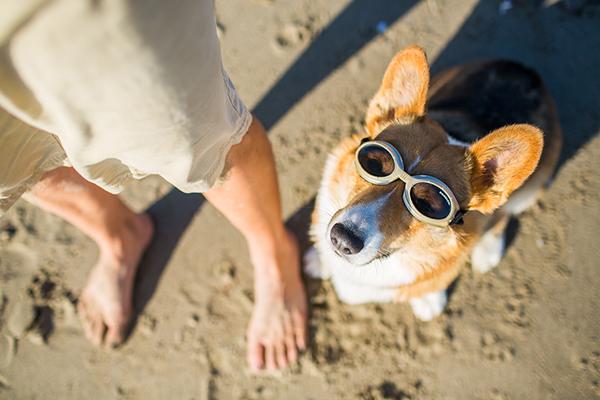 © Anthony Helton | Purple Collar Pet Photography | Corgi on beach wearing shades, Corgi wearing doggles, cute dog at beach