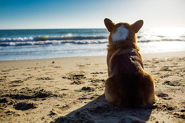 © Anthony Helton | Purple Collar Pet Photography | Corgi at beach