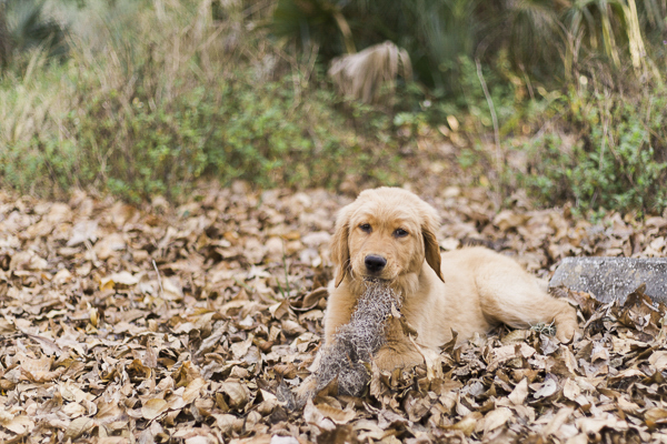 © Emily Katherine Photography | Golden Retriever puppy in leaves, on location pet photography