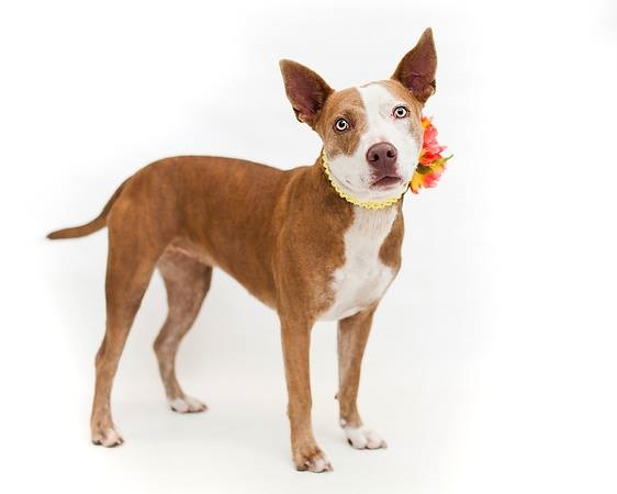 Hailey is adoptable from Orange County Animal Services, Orlando, FL