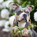 Adoptable-pit-bull-wearing flower crown, peonies in background, coral rose wreath