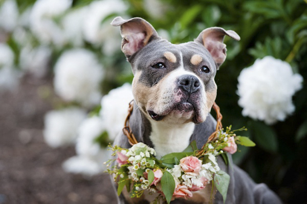 Adoptable-pit-bull-wearing flower crown, peonies in background, coral rose wreath, adoptable-pet