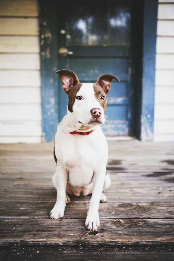© Jessica Cobb Pet Photography | beautiful pit bull photos, dog sitting on porch in front of old blue door- Lifestyle-dog-photography-12
