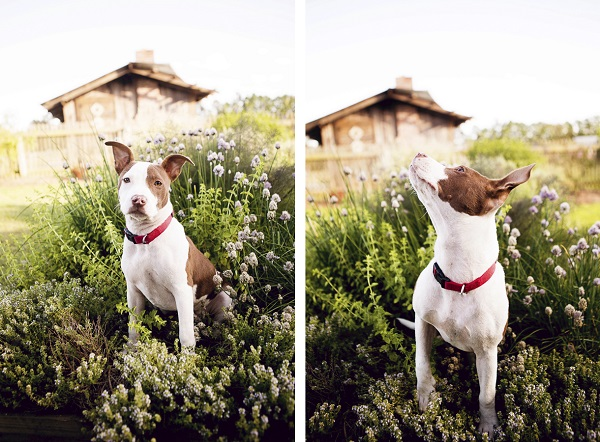 © Jessica Cobb Pet Photography |on-location-pit-bull-photography, pit bull in plants, gorgeous dog photos
