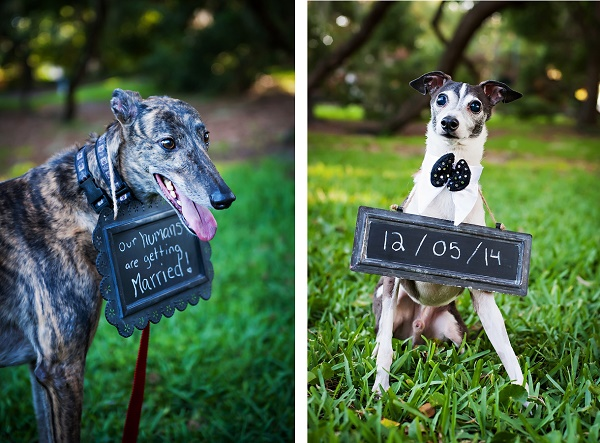 © Limelight Photography  Greyhound and Italian greyhound holding save the date sign, engagement photos with dogs