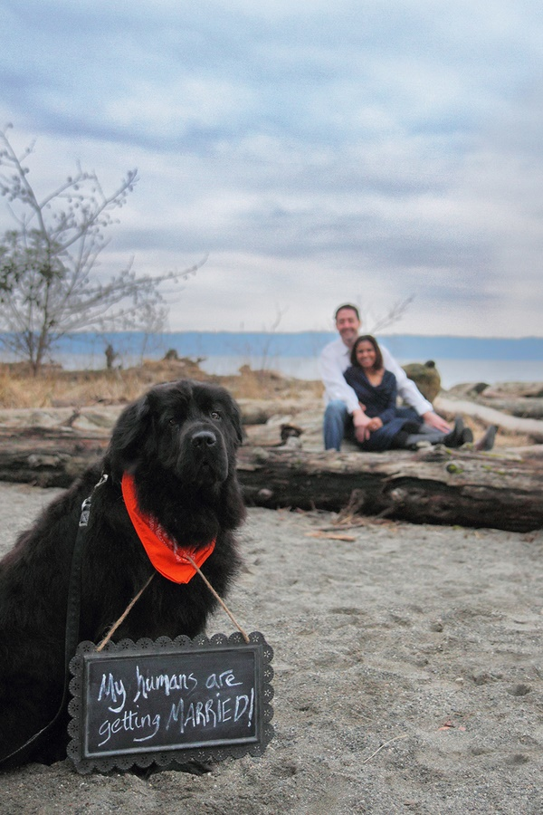 © Melissa Miksch Photography | Newf holding save the date sign, engagement photos with dogs, beachy engagement session with dog