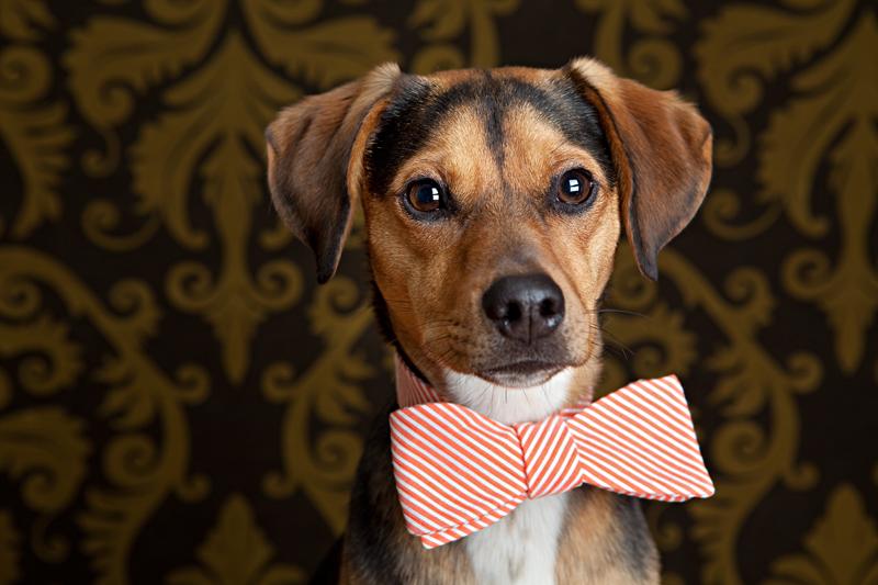 Leroy-orange-bow-tie, birthday-boy-dog