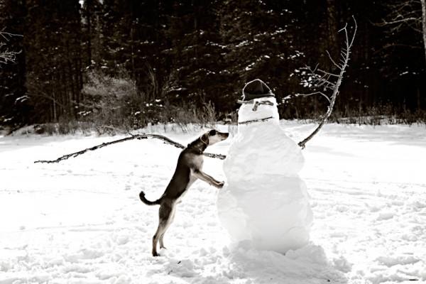 rat-terrier-mix-and-snowman, Banff-photographer