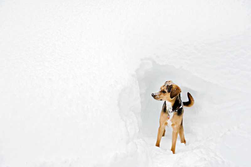 beagle-look-alike-mix-in-snow