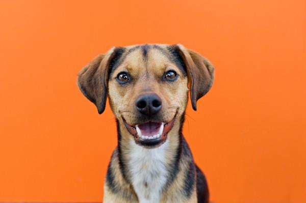 grinning-rat-terrier-mix