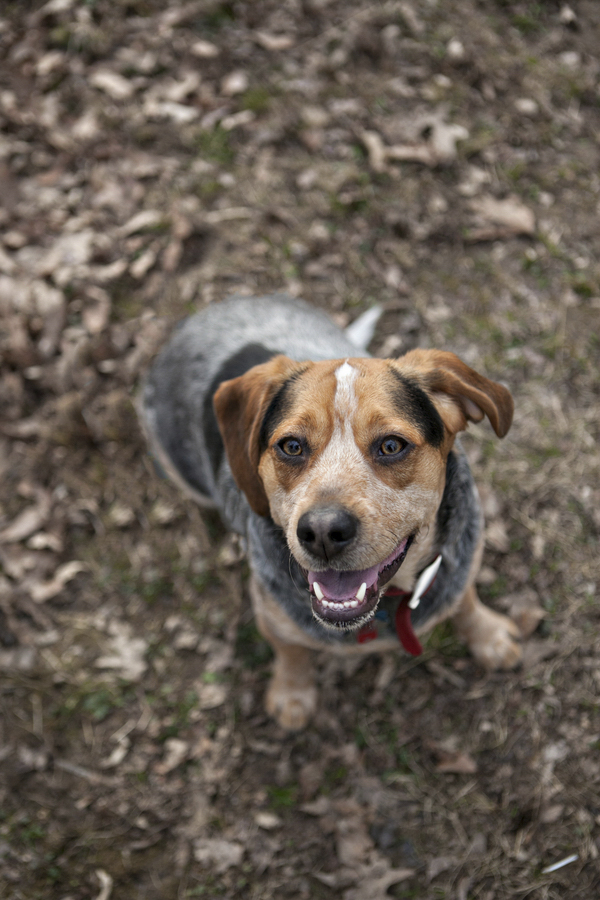 © Paw Prints -Pet -Portraits by Charlene | handsome mixed breed, hound/cattledog mix, Heinz 57 dog, smiling dog photography