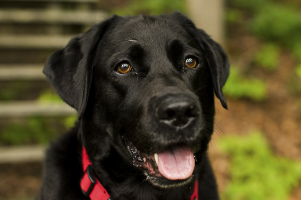 © Silent Moment Photography | on location pet photography, Black Labrador Retriever, water loving Labrador Retriever