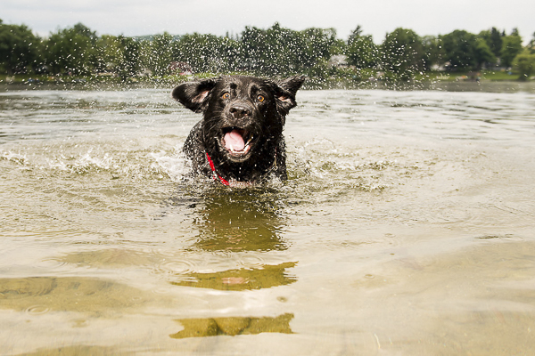 © Silent Moment Photography | crazy face Labrador, Lab swimming in lake, water loving Labrador Retriever