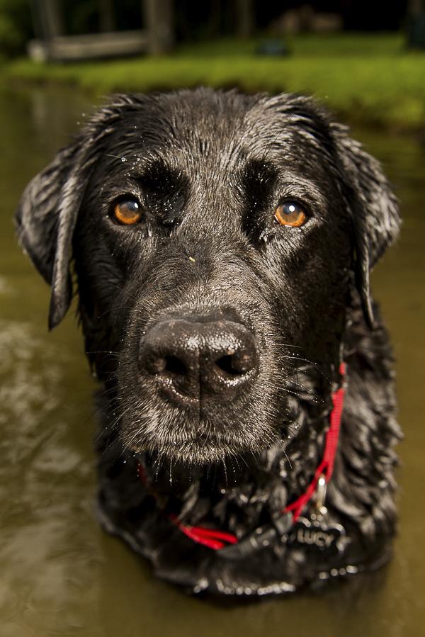 © Silent Moment Photography | wet black lab,  lifestyle dog photography. Black Labrador Retriever