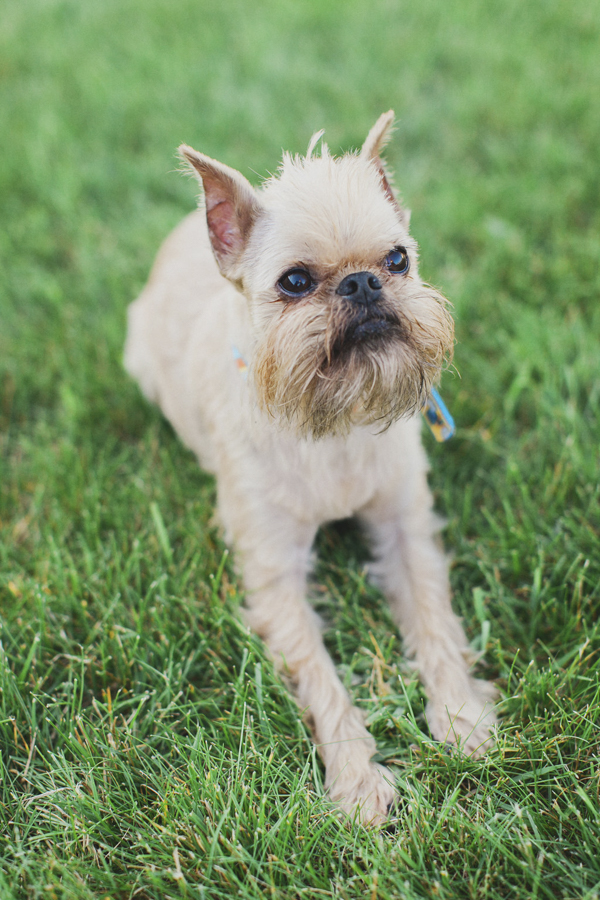 © Tiffany Tcheng Photography | lifestyle pet photography,  Brussels Griffon lying in grass