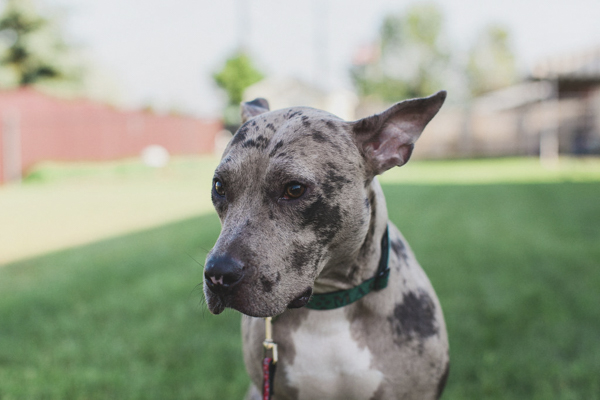 © Tiffany Tcheng Photography | lifestyle dog photography, Catahoula leopard, deaf, blind dog in forever home