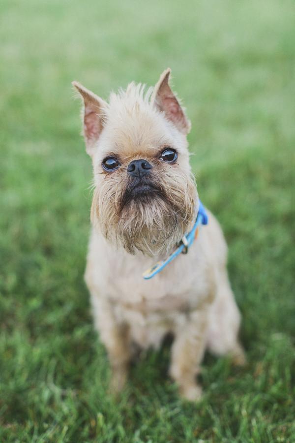 © Tiffany Tcheng Photography | Brussels Griffon, bearded dog