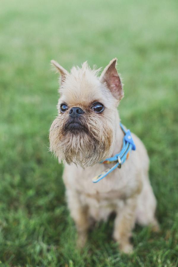 © Tiffany Tcheng Photography| Brussels Griffon, on location  lifestyle dog photography