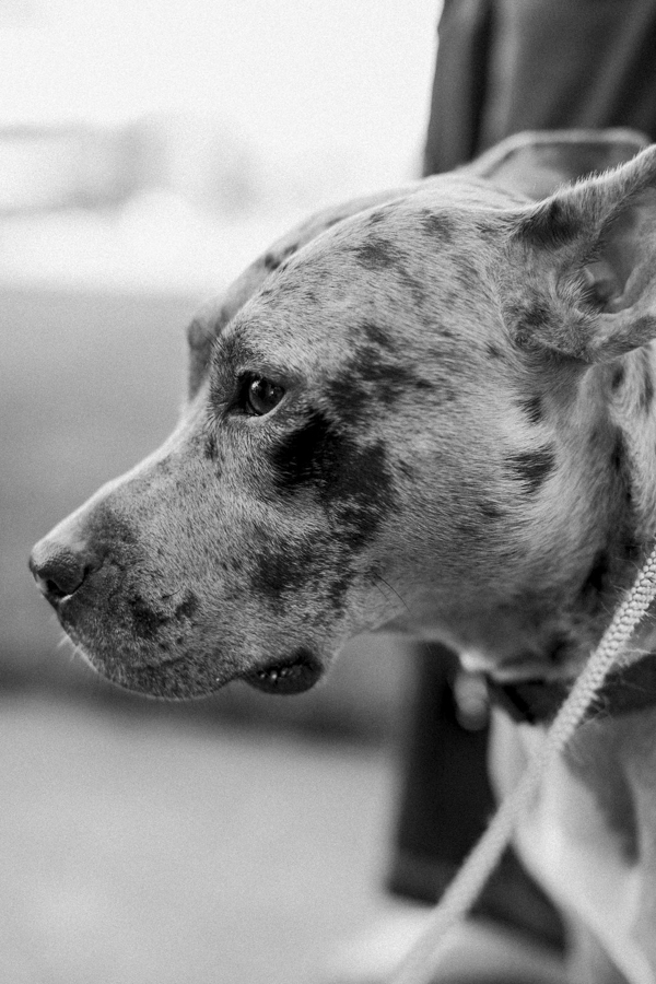 © Tiffany Tcheng Photography | Catahoula Leopard dog, dog with medical issues lives well