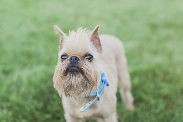 © Tiffany Tcheng Photography | Brussels Griffon, lifestyle dog photographer