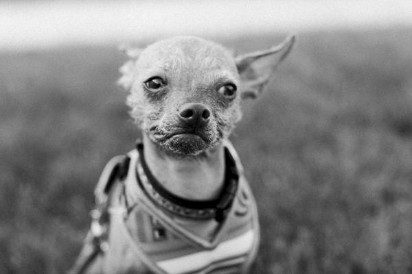 © Tiffany Tcheng Photography | Chihuaha-xoloitzcuintli mixed breed
