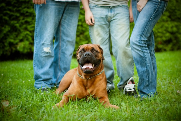 Red Bullmastiff and her humans