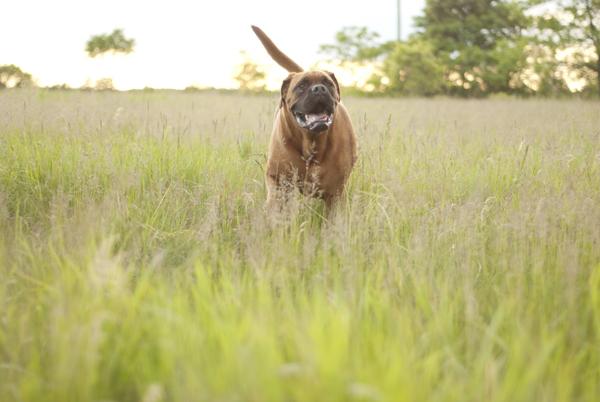 red Bullmastiff in field