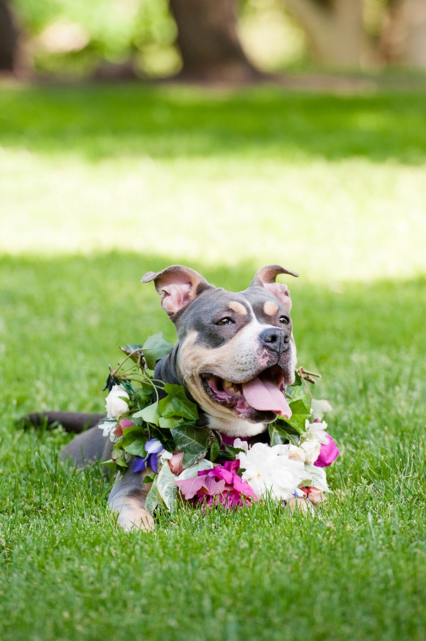 © Jenny Karlsson Photography | adoptable pit bull wearing flowers, peony wreath