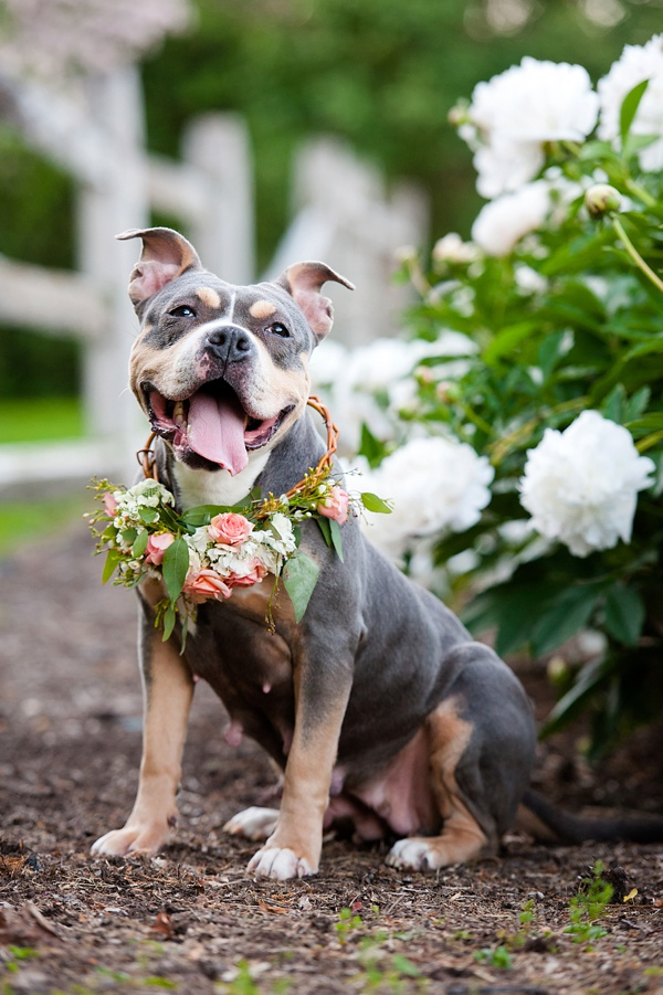© Jenny Karlsson Photography | Adoptable Pit bull wearing flowers, coral rose wreath for dog, white peony