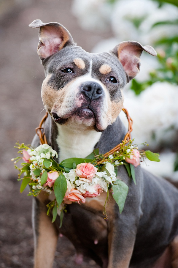 © Jenny Karlsson Photography | pit-bull-flower-crowns, adoptable dog from Biggies Bullies, Pittsburgh, PA