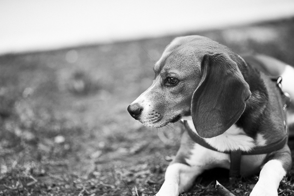 © Alessia Cerqua Photography | handsome Beagle, Italian Animal Photographer, Black white beagle portrait, on location dog photography