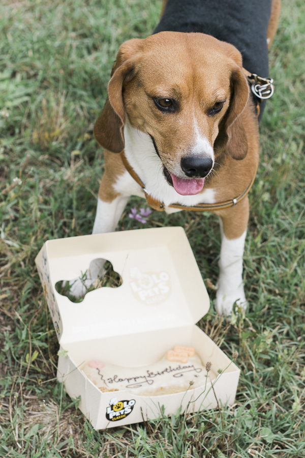 © Alessia Cerqua Photography | handsome Beagle rescued from animal testing facility, birthday beagle