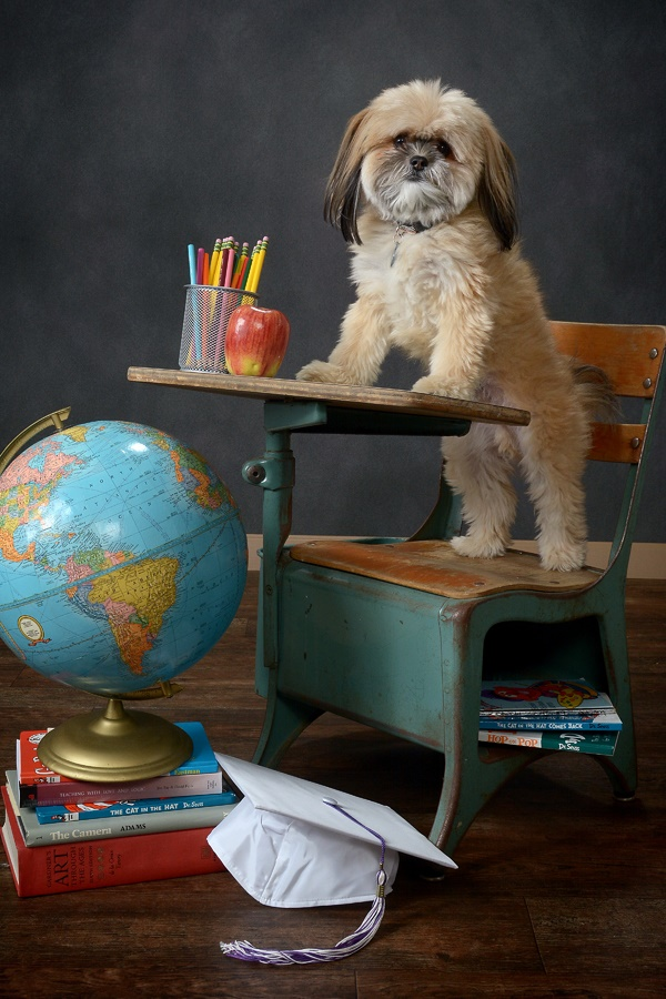 ©CaponePhotography_Too Cool for School- Shih Tzu back to school studio photography,