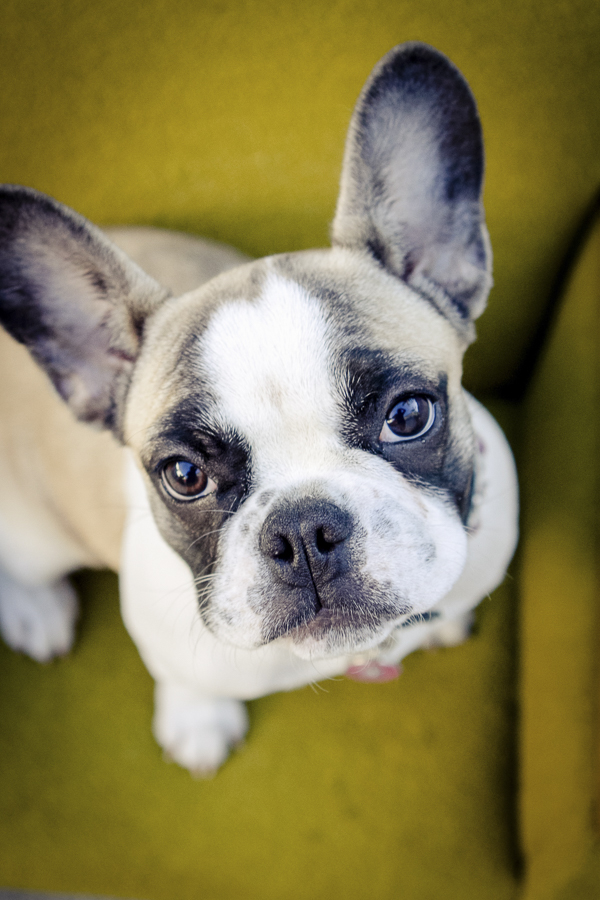 © Mara Casey Shoots | French Bulldog, dogs on furniture