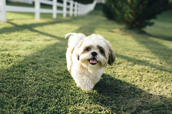 © Erin Morrison Photography | Maltese Shih Tzu, on location pet photography, small dog in country yard, white rail fence, fluffy dog