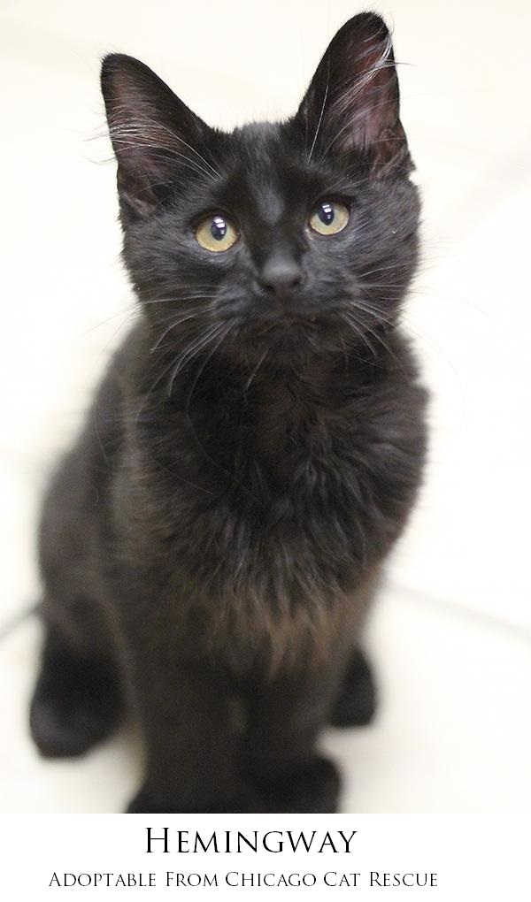 adoptable cat from Chicago Cat Rescue