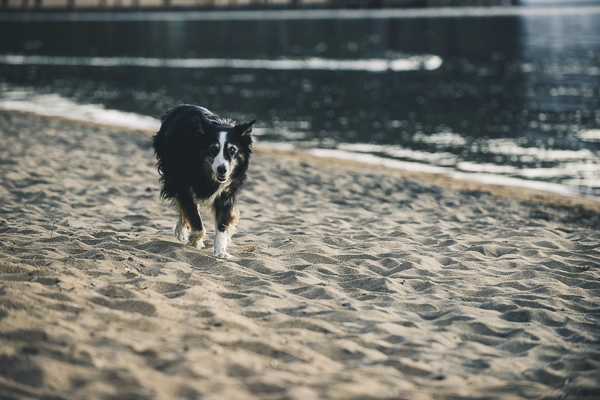 © Lauren Lindley Photography | senior Border Collie running on sand beach, lifestyle dog photography