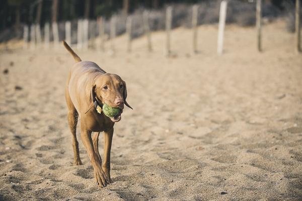 Lauren Lindley Photography beach dogs, Vizsla, tennis ball, beach, Zephyr Cove, NV, dog friendly beach