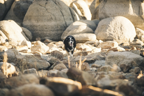 © Lauren Lindley Photography | Border Collie among rocks, Zephyr Cove, NV