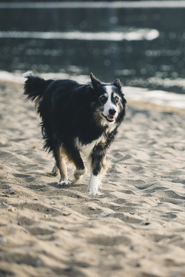 © Lauren Lindley Photography |maternity beach session Border Collie