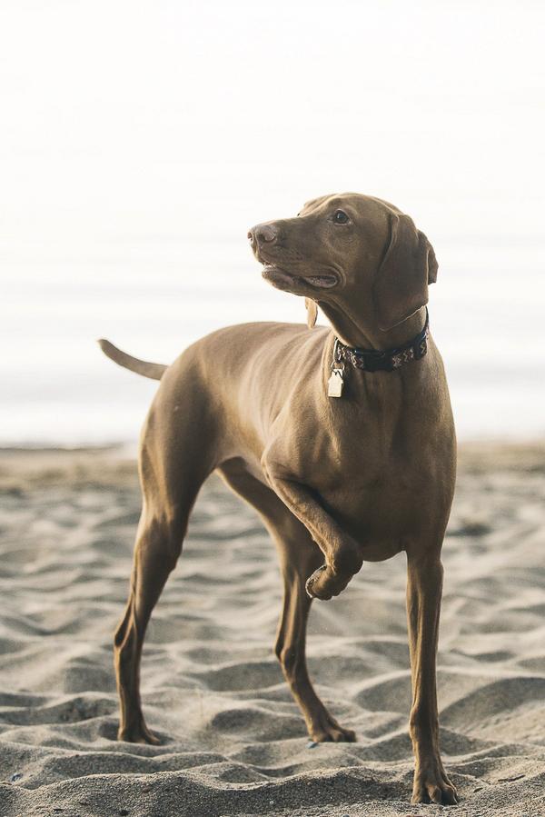 © Lauren Lindley Photography | beach dog, Vizsla on sand beach