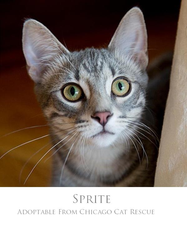 Sprite-Chicago Cat Rescue