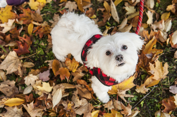 Alice G Patterson Photography | Maltese in fall leaves, healthy dog food helps clear eye stains Pinnacle