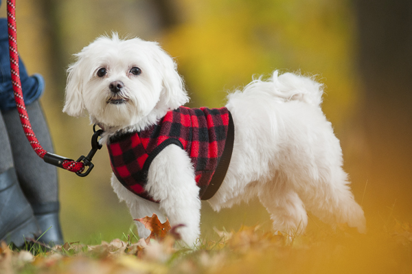 Alice G Patterson Photography-Maltese in red plaid fleece