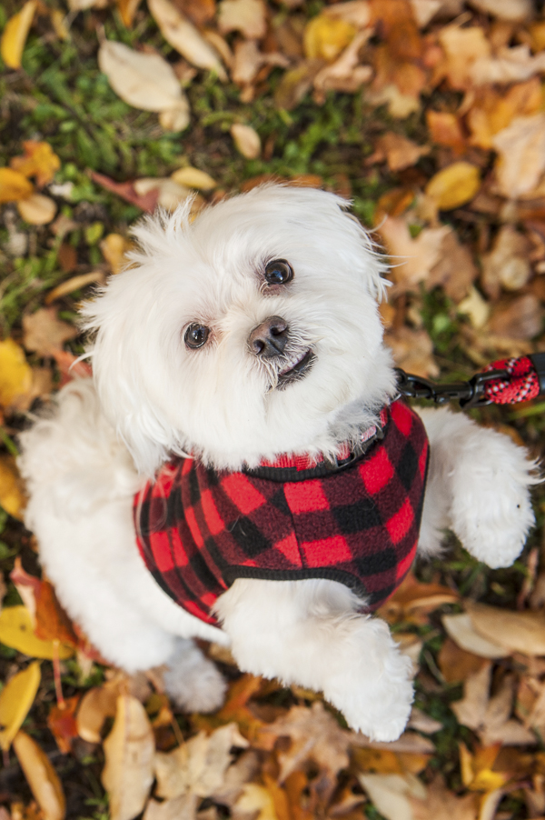 Alice G Patterson Photography | Maltese on back legs, on location pet photography, Maltese wearing red,black shirt, adventure dog