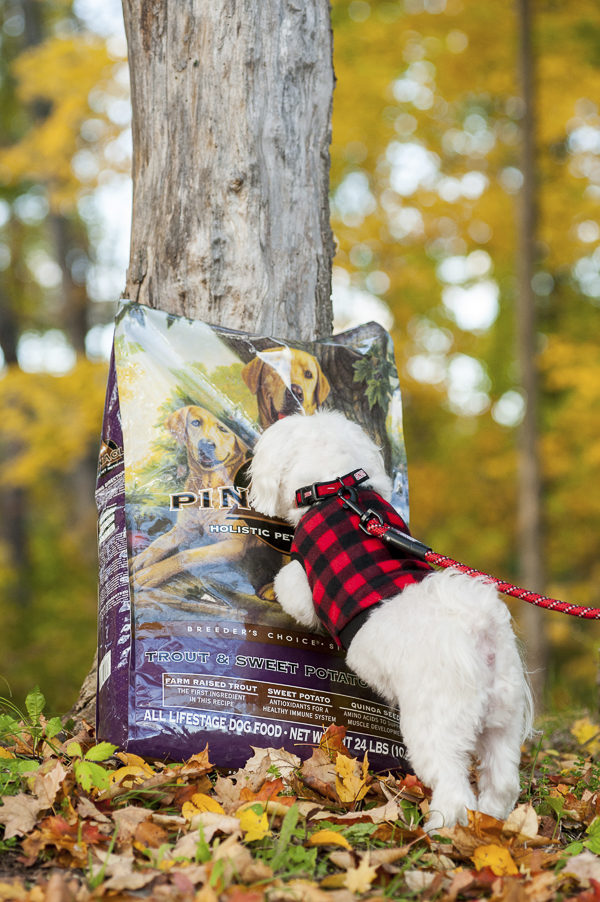 Alice G Patterson Photography on-location-dog-photography, fall dog, Maltese in buffalo plaid fleece, dog sniffing bag of food