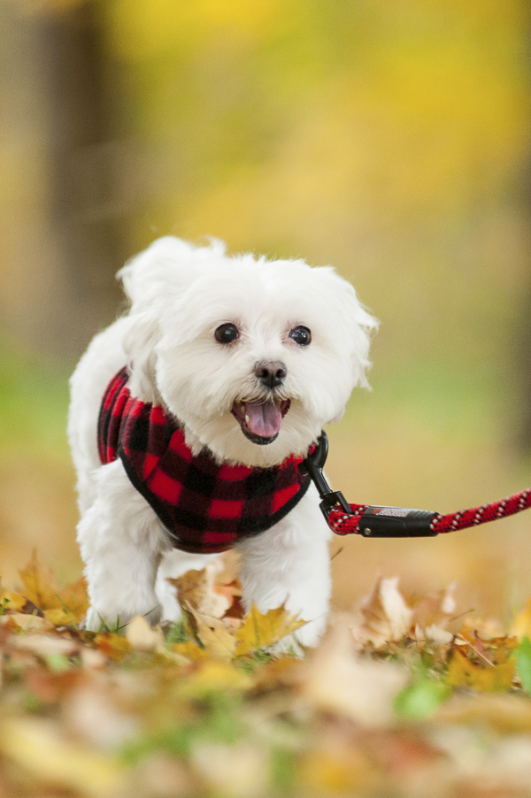 Alice G Patterson Photography-Maltese wearing red plaid fleece running on leash
