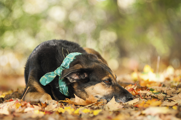 Alice G Patterson Photography-Syracuse dog photographer-beautiful mixed breed lying on autumn leaves, dog in plaid bandanna